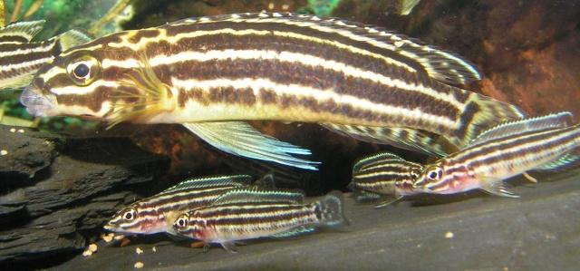 Eine Julidochromis regani-Familie beim Fressen