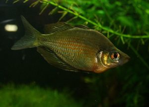 Wanamensee-Regenbogenfisch