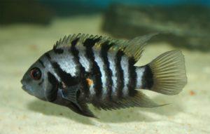 Zebrabuntbarsch - Amatitlania nigrofasciata