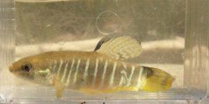Zebrakärpfling - Aphanius fasciatus
