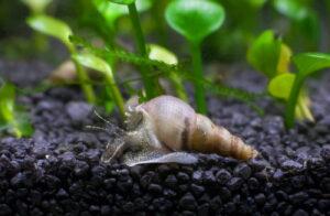 Turmdeckelschnecken im Bodengrund