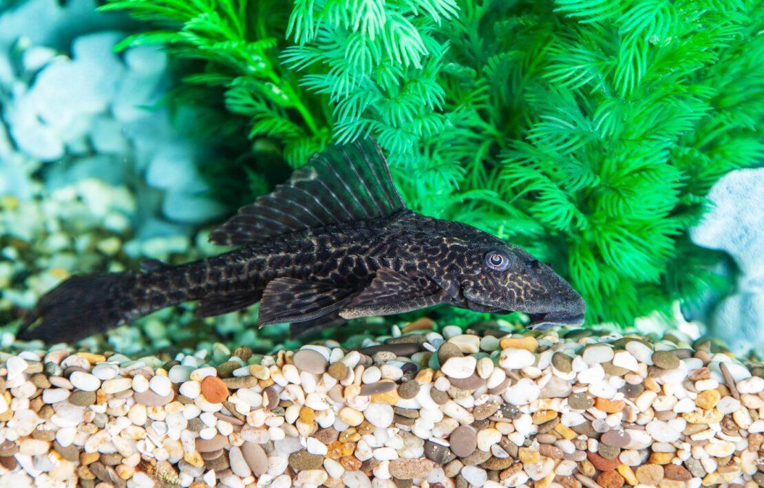 Aquarienkies als Bodengrund