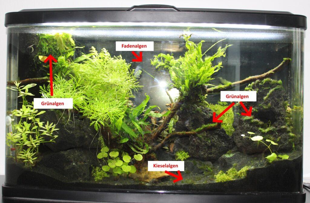 Algen im Aquarium nach 30 Tagen