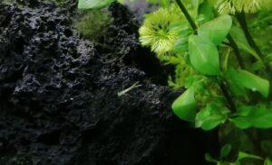 Libellenlarven im Aquarium