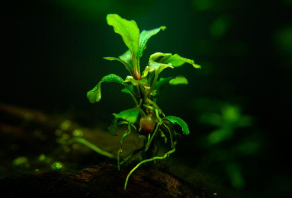 Schnecke an Aquarienpflanze als Ursache der Schneckenplage