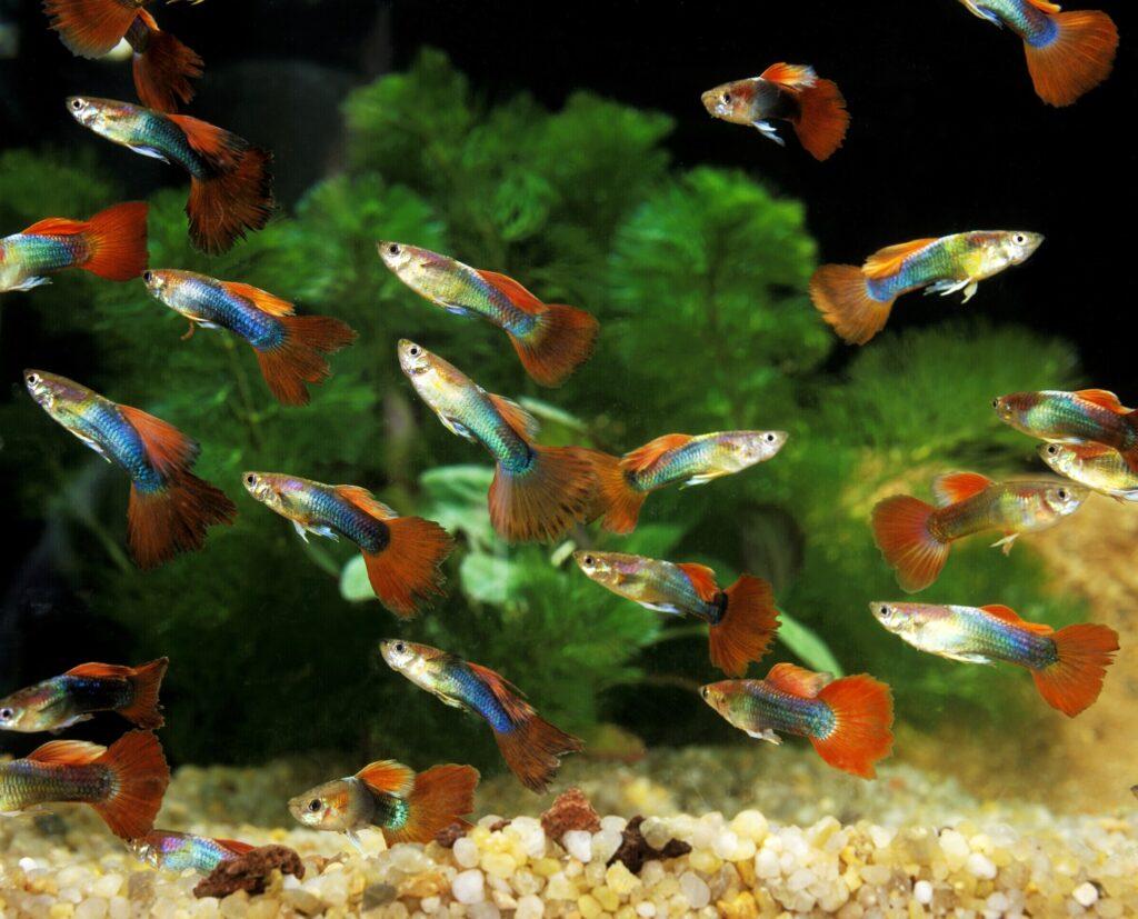 So viele Fische im Aquarium
