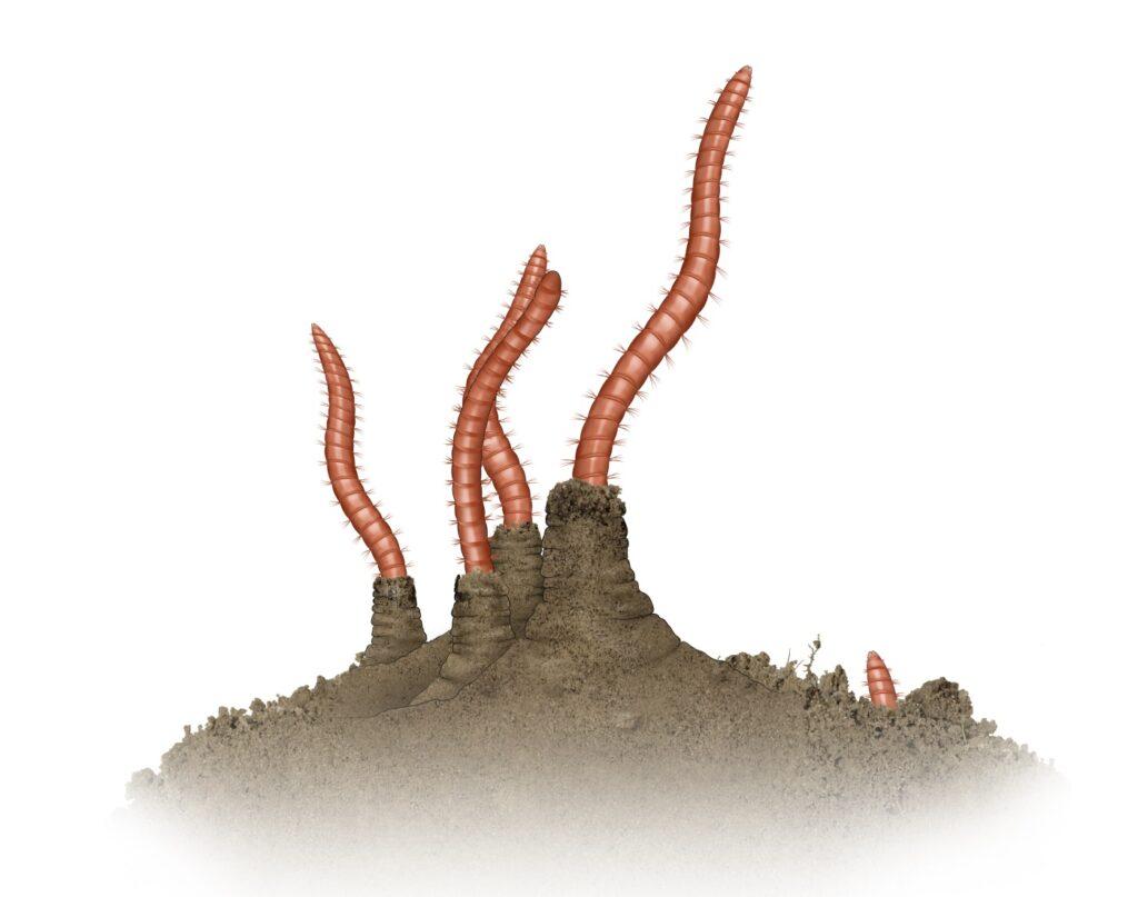 Tubifex Würmer im Aquarium