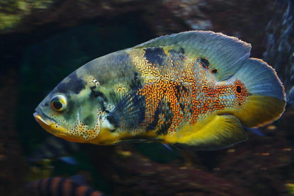 Der Fisch Astronotus ocellatus