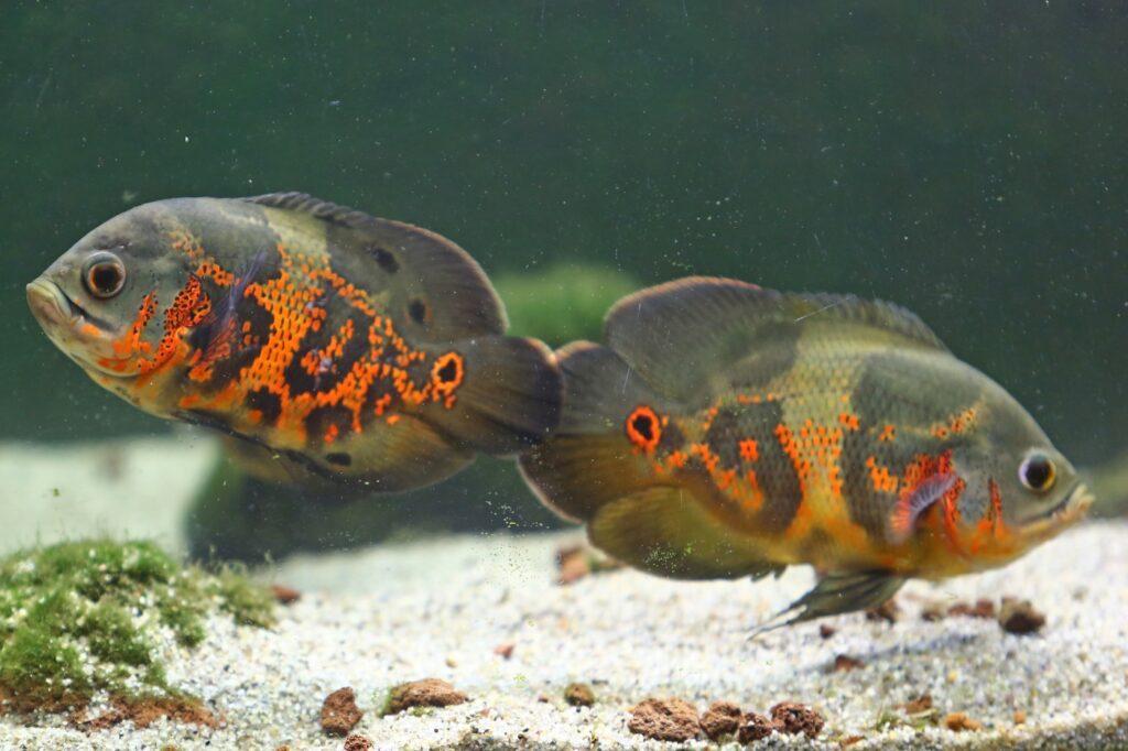 Astronotus ocellatus Zucht und Jungfische