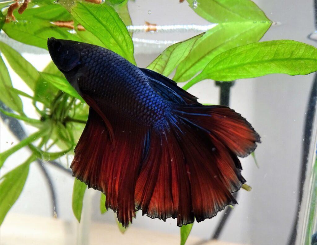 Blauer Kamppfisch im Aquarium