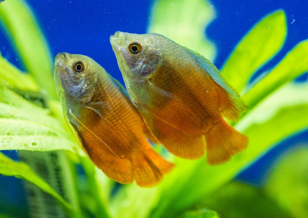 Honiggurami Zucht und Jungfische