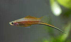 Komma-Schwerttraeger - xiphophorus signum