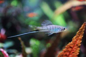 Montezuma Schwertträger - xiphophorus montezumae