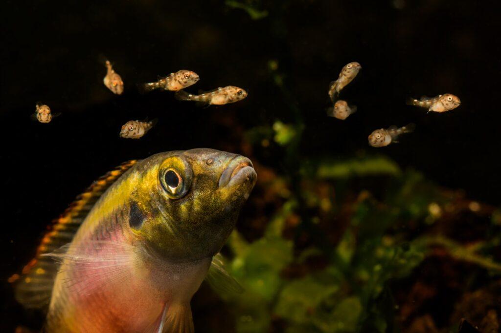 Pelvicachromis pulcher Nnachzucht und Jungfische