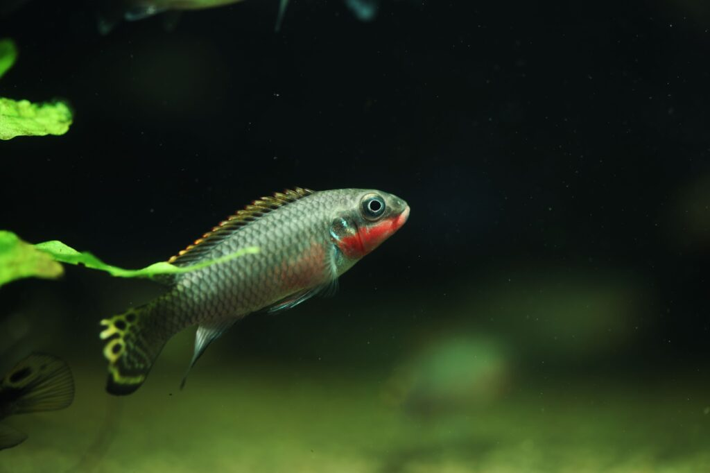 pelvicachromis taeniatus Vergesellschaftung