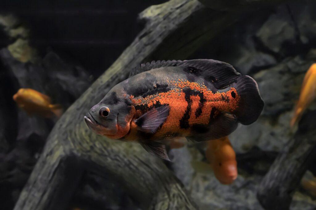 Pfauenaugenbuntbarsch - Haltung im Aquarium