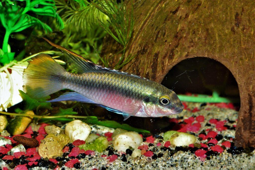 Purpurprachtbuntbarsch im Aquarium