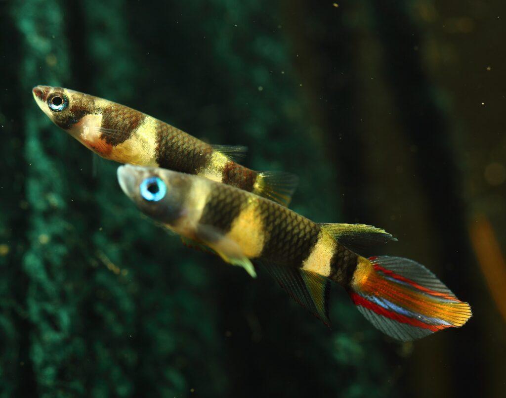 Ringelhechtling Zucht und Jungfische