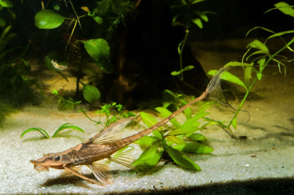 Aquarium für Störwelse einrichten