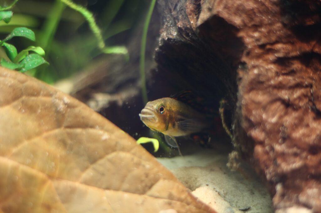 Aquarium für den Kakadu Zwergbuntbarsch einrichten