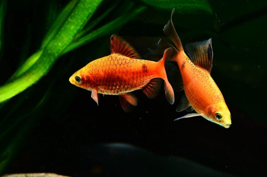 Aquarium für Prachtbarben einrichten