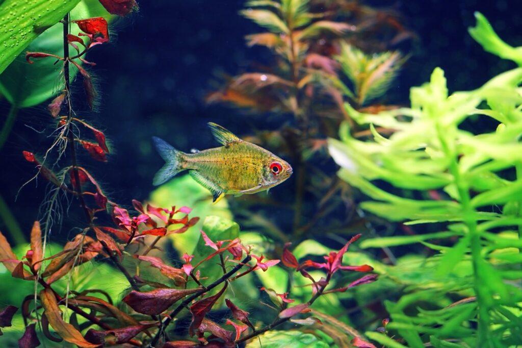 Aquarium für den Roter von Rio