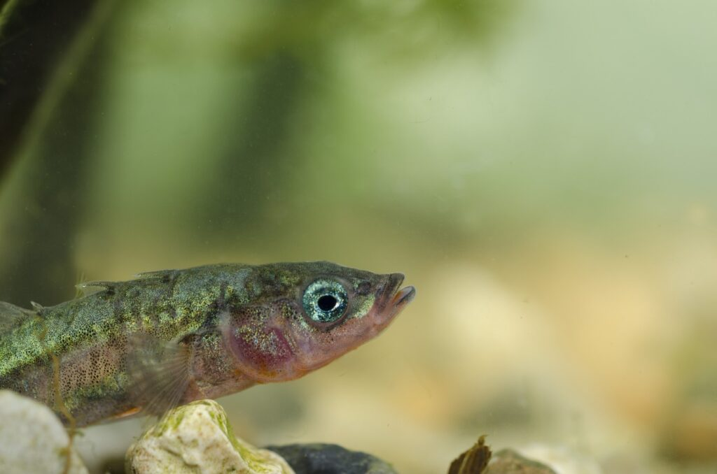 Gasterosteus aculeatus - Stichling