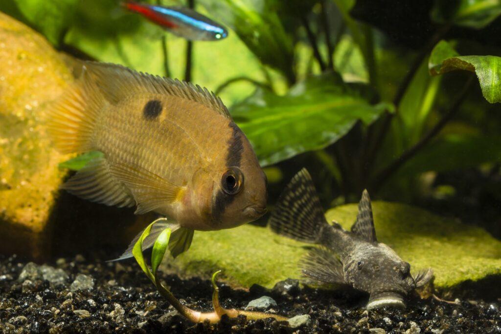 Aquarium für den Maronibuntbarsch einrichten