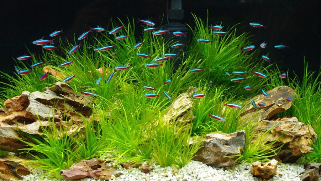 Aquarium für Neonsalmler einrichten
