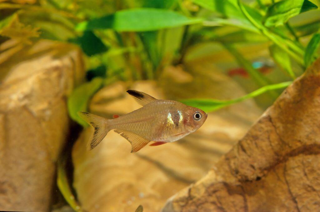 Roter von Rio und seine Haltung im Aquarium