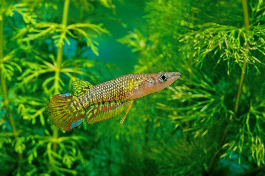 Aquarium für den Streifenhechtling einrichten