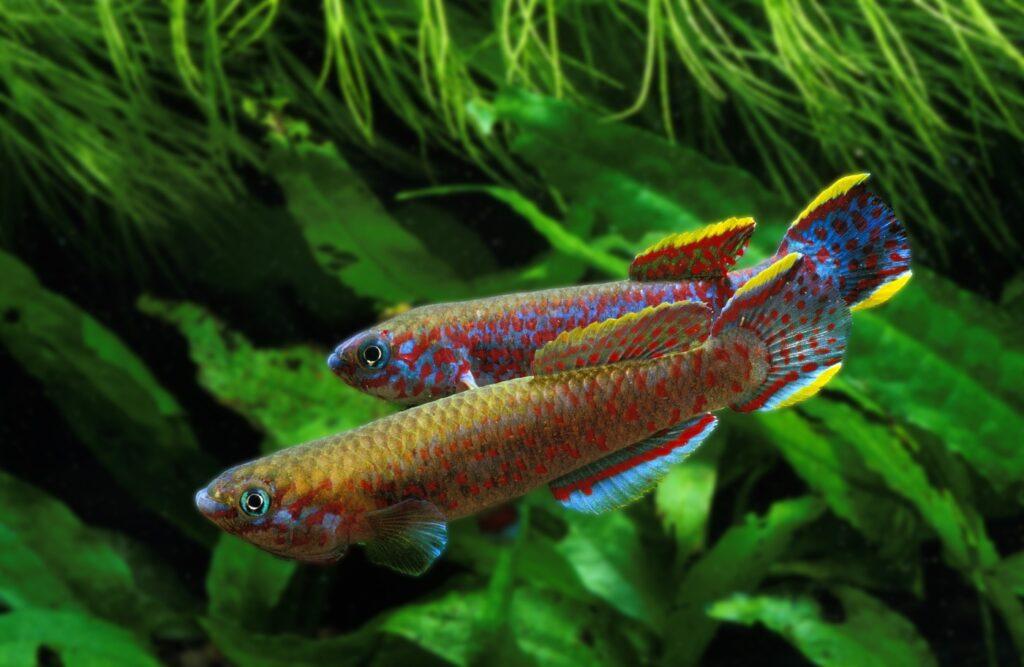 Aphyosemion australe Zucht im Aquarium