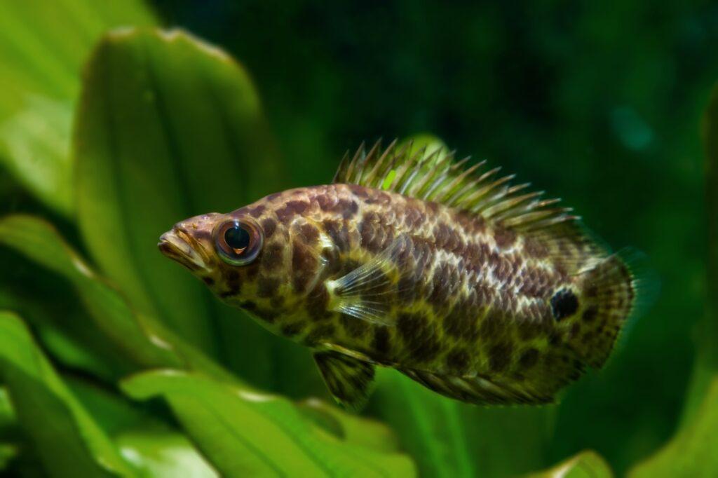Aquarium für den Leopardbuschfisch