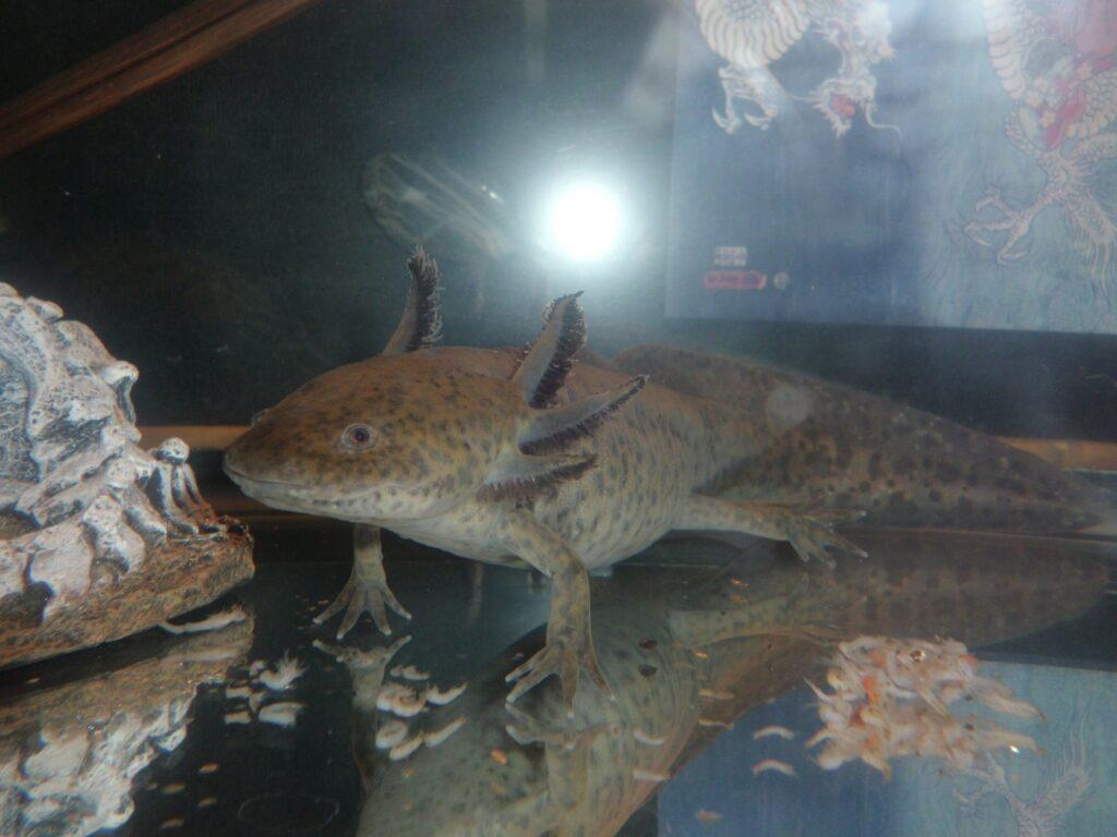 Axolotl Futter