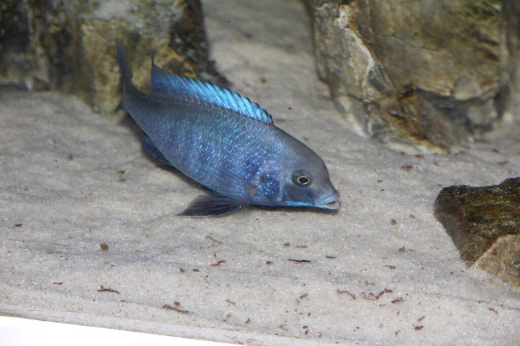 Aquarium für den Beulenkopfmaulbrüter