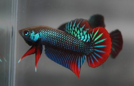 Friedlicher Kampffisch - Betta imbellis