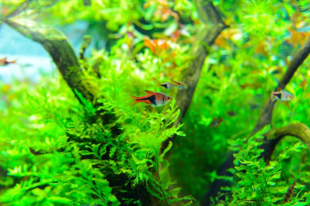 Aquarium für die Keilfleckbarbe einrichten