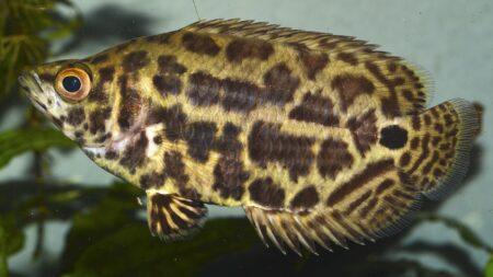 Leopardbuschfisch - Ctenopoma acutirostre
