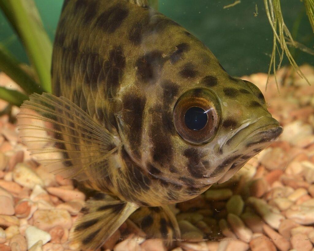 Leopardbuschfisch und seine Haltung