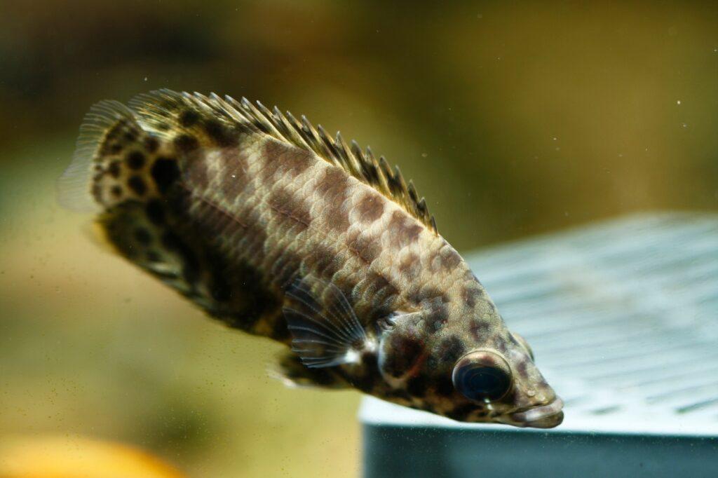 Zucht des Leopardbuschfisch
