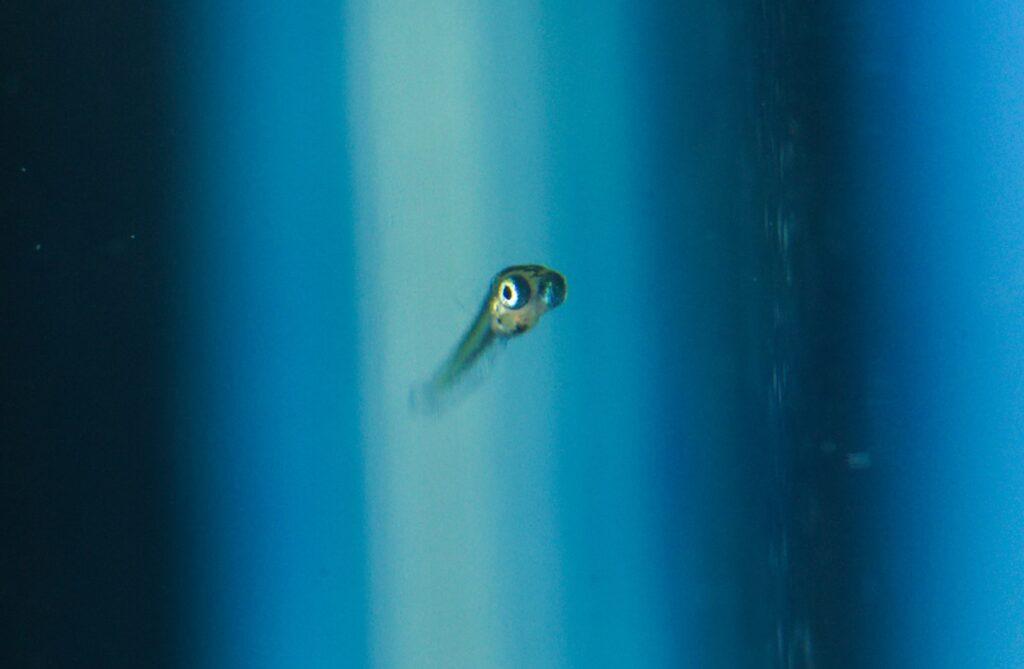 Zucht des Neon Reisfisch