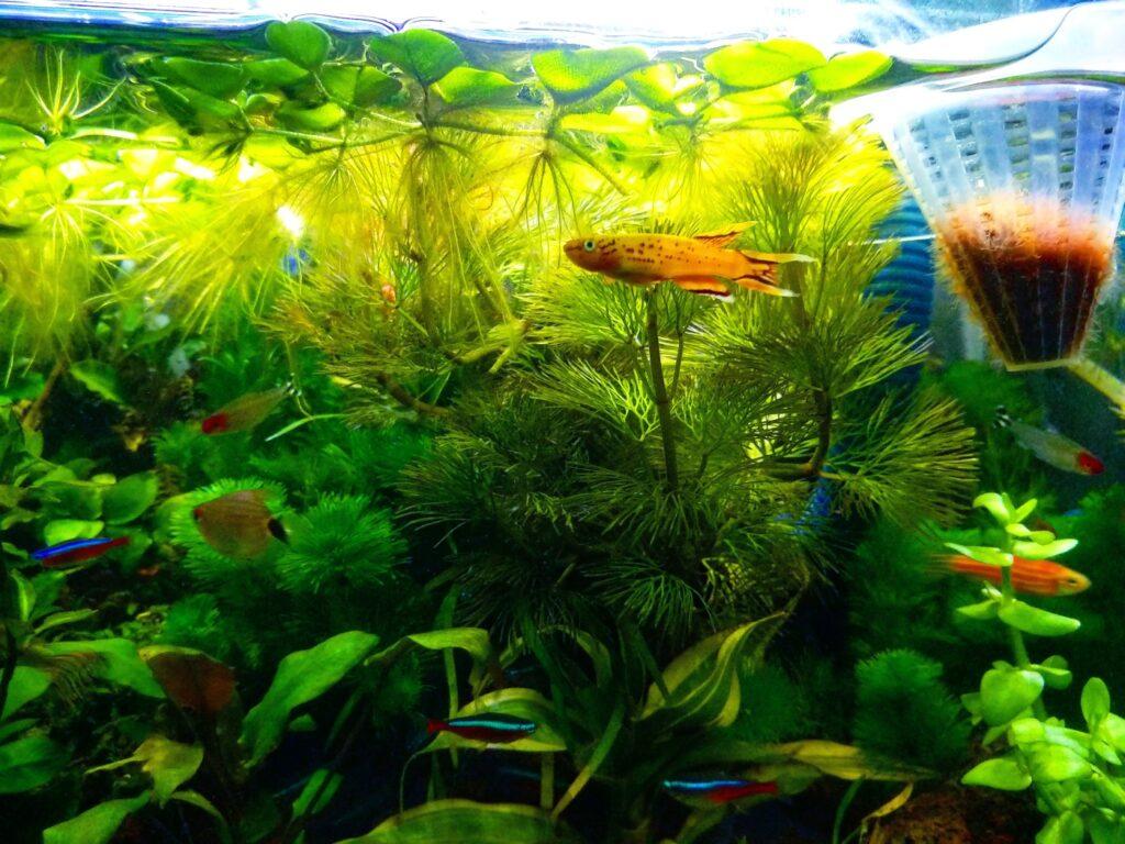 Prachtkärpfling im Aquarium