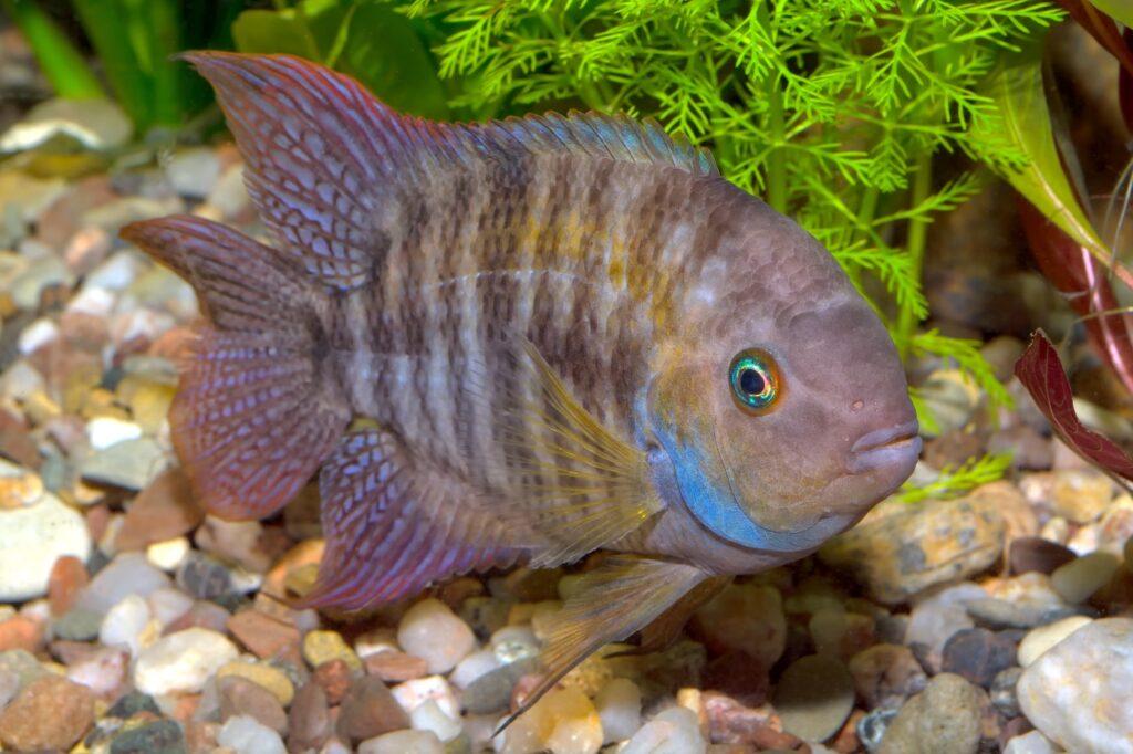 Aquarium für den Sajica Buntbarsch