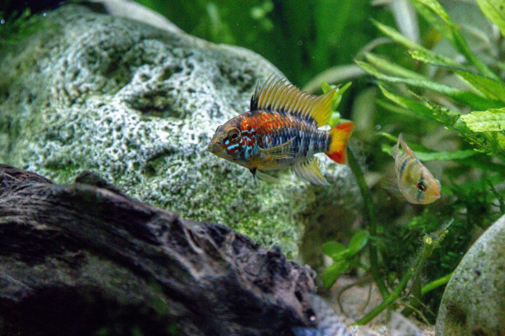Aquarium für den Villavicencio-Zwergbuntbarsch