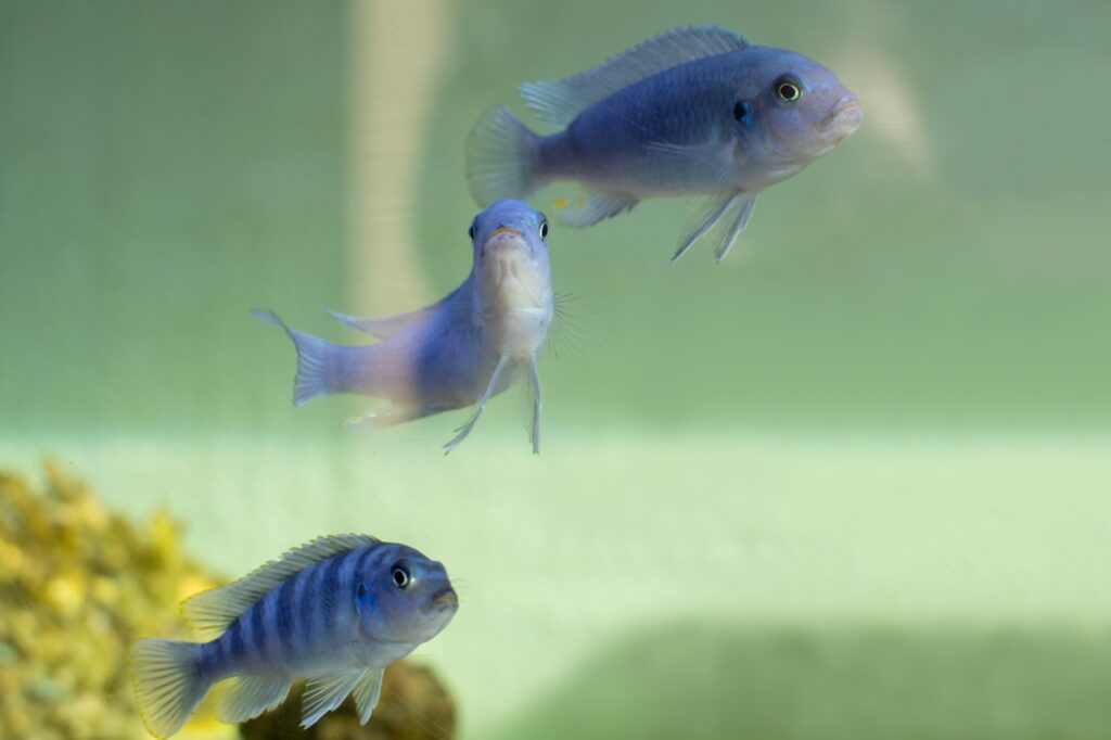 Blauer Maulbrüter im Aquarium