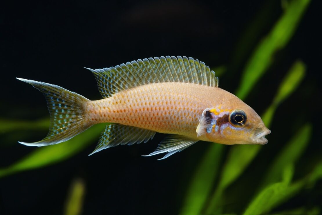 Feenbarsch - Neolamprologus brichardi