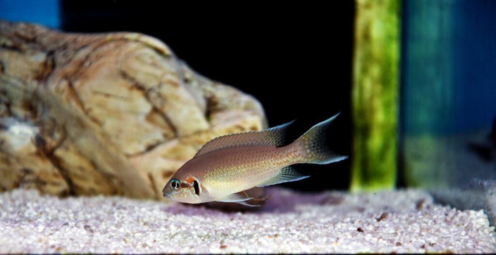 Feenbuntbarsch im Aquarium