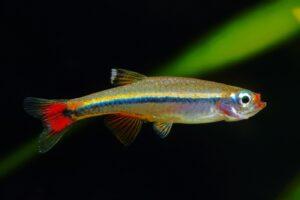 Kardinalfisch - Tanichthys albonubes