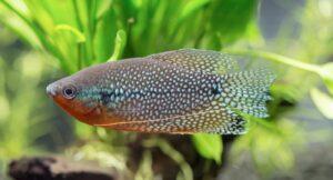 Mosaikfadenfisch - Trichogaster leeri