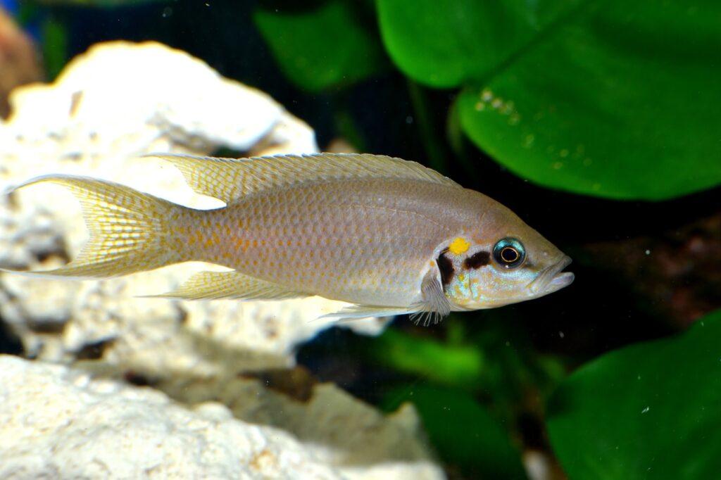 Neolamprologus brichardi und seine Färbung
